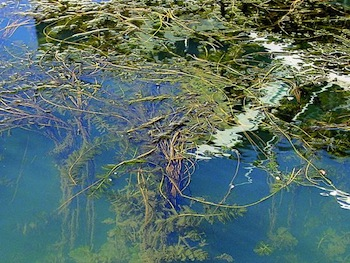 Photo Invasive Species Milfoil