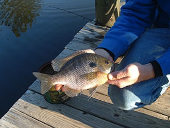Invasive blue Gill Fish