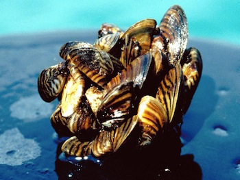 Photo Invasive Species Zebra Mussel