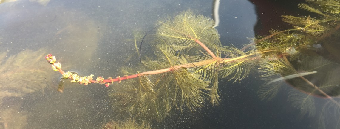 CSV_flowering Eurasian watermilfoil