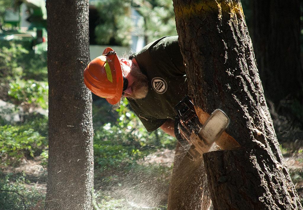 Staff member cutting down a tree