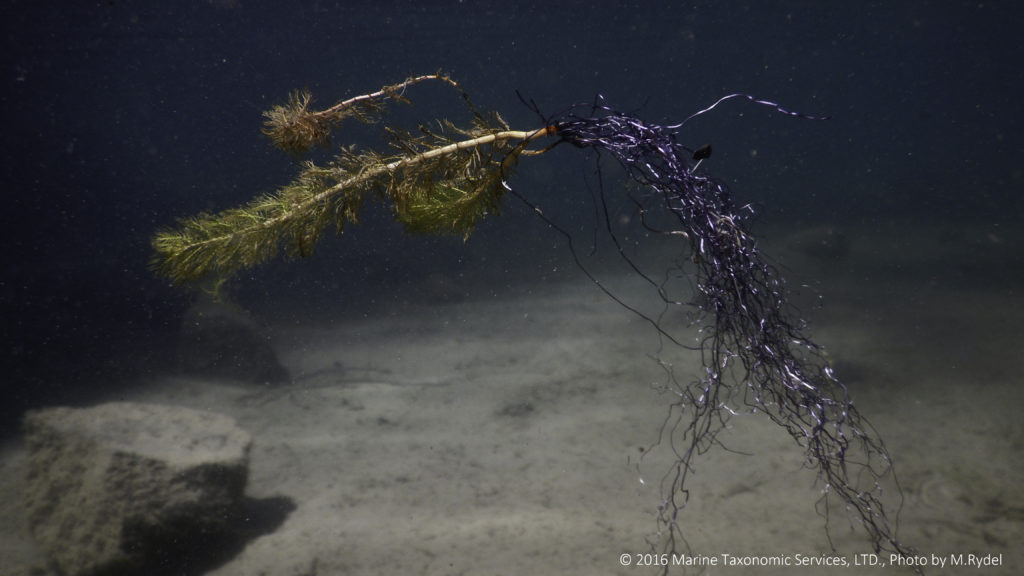 Eurasian watermilfoil fragment with roots suspended in water column in Lake Tahoe.