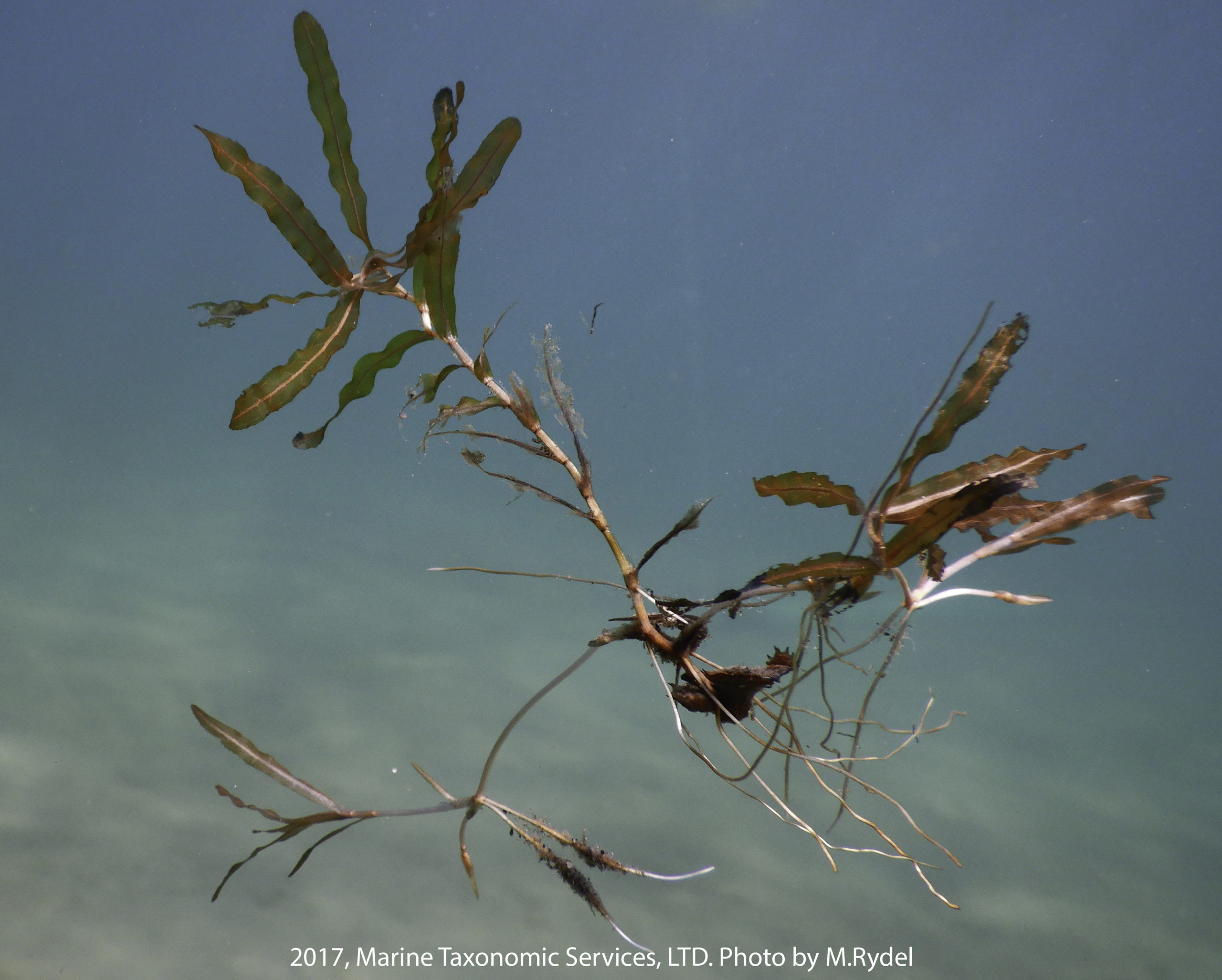 Image shows a green and red curly-leaf pondweed fragment suspended in blue water.