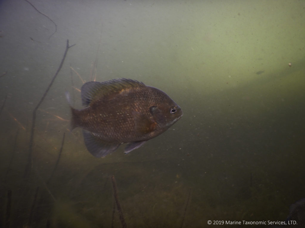 Image shows a fish swimming through murky water.