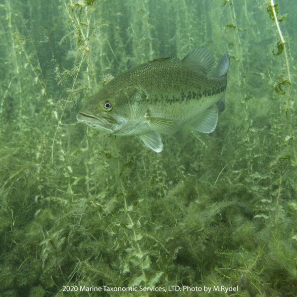 Target Invasive Fish (TIF) Methods image