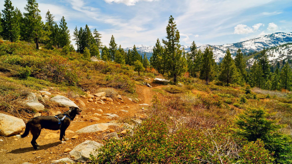 Dog on a trail in Tahoe