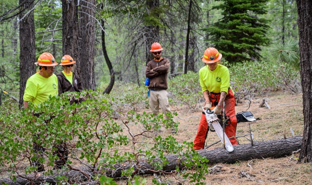 Forestry staff cutting down a tree