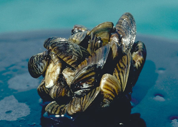 Image shows a cluster of zebra mussels poking out of water. The mussels have faint stripes.